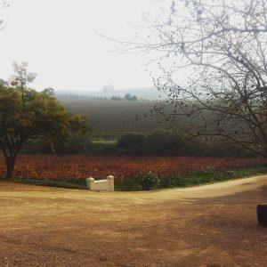 Misty early morning in the vineyards, Jordan Wine Estate