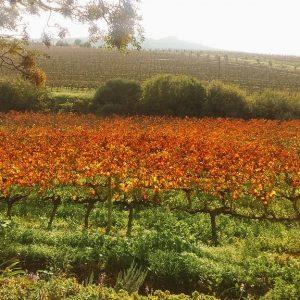 View of the vineyards, Jordan Wine Estate